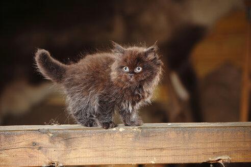 British Longhair kitten standing on wooden beam - HTF000669