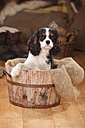 Portrait of Cavalier King Charles Spaniel puppy sitting in wooden tub - HTF000676