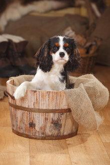 Portrait of Cavalier King Charles Spaniel puppy sitting in wooden tub - HTF000676