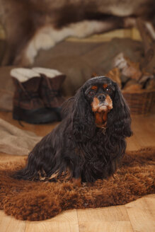 Portrait of Cavalier King Charles Spaniel  sitting on sheep skin - HTF000677