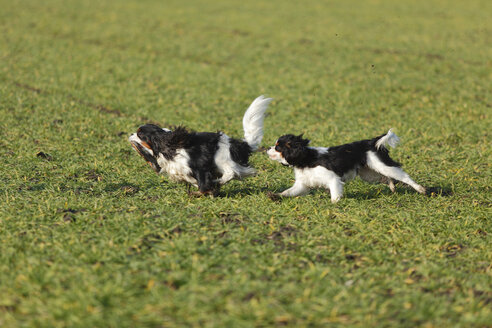 Two Cavalier King Charles Spaniels running on a meadow - HTF000679