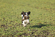 Cavalier King Charles Spaniel puppy running on a meadow - HTF000680