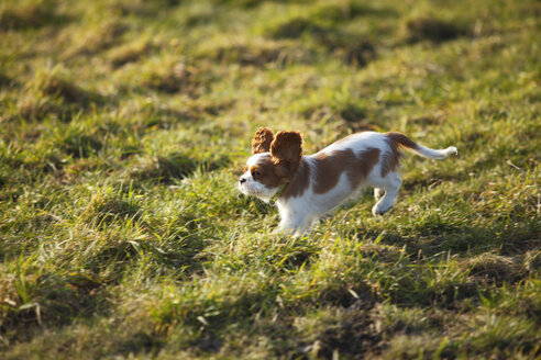 Cavalier King Charles Spaniel puppy running on a meadow - HTF000688