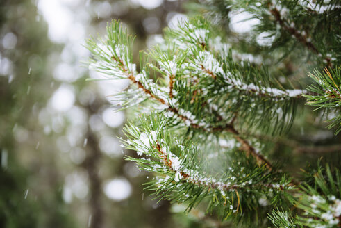 Close-up of pine needles while snowing - GEMF000078