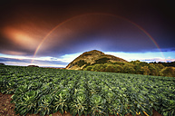 UK, Scotland, East Lothian, rainbow over a field of Brussels sprouts - SMAF000316