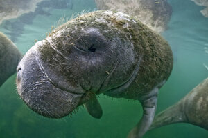 USA, Florida, West Indian manatee - ZC000216