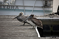 USA, Florida, two brown pelicans on jetty - ZC000207