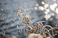 Germany, Landshut, frost-covered plant in front of water - SARF001446