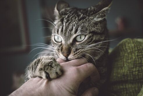 Portrait of tabby cat biting and scratching owner's hand - RAEF000069