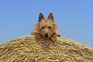 Australian Terrier sitting on hay bale - RUEF001579