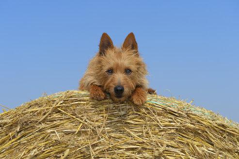 Australian Terrier sitting on hay bale - RUEF001579