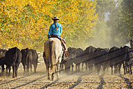 USA, Wyoming, cowgirl riding horse and herding cattles - RUEF001578