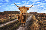 UK, Scotland, Highland cattle with calf at Laide - SMAF000321