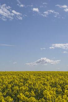 Germany, Brandenburg, blossoming rape field - ASCF000052
