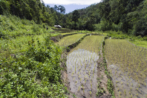 Thailand, Chiang Mai, Rice Field - NNF000224