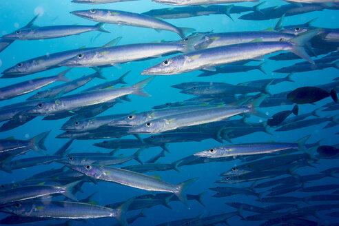 Palau, school of Heller's barracuda - JWAF000266