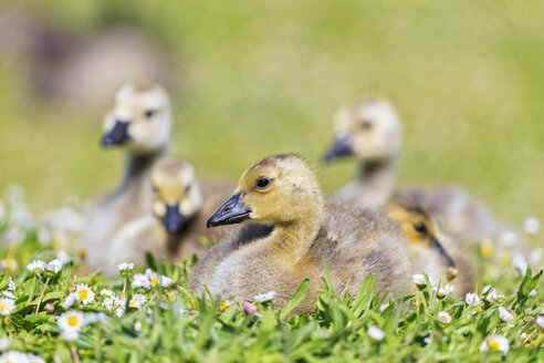 USA, Oregon, young Canada gooses on flower meadow - FOF007817