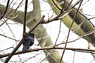 Common blackbird, Turdus merula, perching on leafless tree branch - LSF000003
