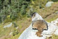 Canada, British Columbia, Whistler, marmot at High Note Trail - KEBF000040