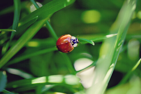 Ladybird perching on blade of grass - LSF000030