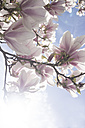 Blossoms of magnolia tree - CHPF000118