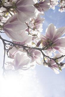 Blossoms of magnolia tree - CHPF000118