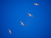 Germany, seagull formation flying in front of blue sky - KRPF001398