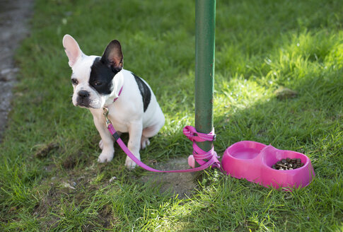 French bulldog puppy tied to a pole - RAEF000100