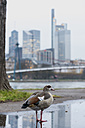 Germany, Frankfurt, Egyptian goose standing in a puddle - KEBF000091