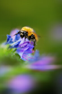 Italy, Extreme close-up of bumblebee on Viper's Bugloss, Echium vulgare - LS000039