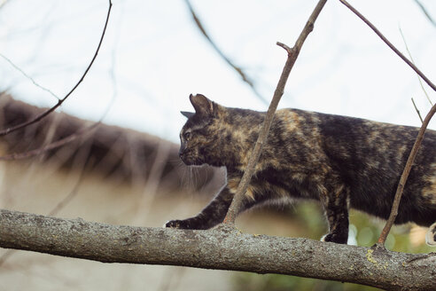 Tabby cat walking on tree branch - LS000043