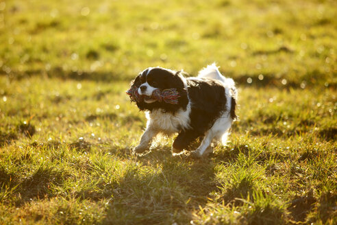 Cavalier King Charles Spaniel with dog toy running on a meadow - HTF000694
