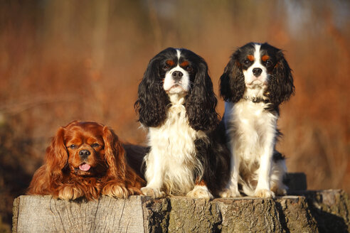 Portrait of three Cavalier King Charles Spaniel side by side - HTF000693