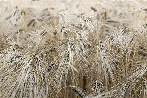 Spikes of rivet wheat - SEF000896