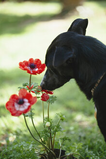 Black dog sniffing poppy in a garden - LSF000051