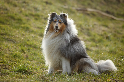 Portrait of Rough Collie sitting on a meadow - HTF000714