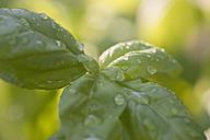 Basil and water drops - CRF002662