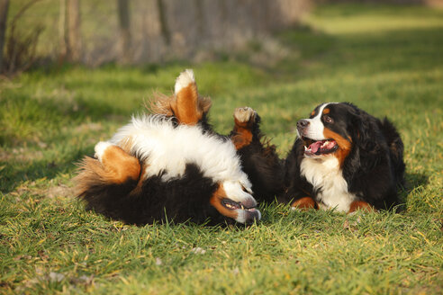 Two Bernese cattle dogs on a meadow - HTF000720