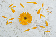 Pot Marigold, Calendula officinalis - CRF002671