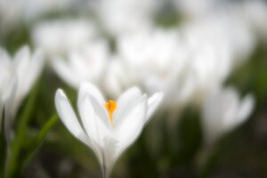 White crocus on a meadow - ELF001491