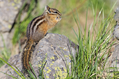 USA, Wyoming, Yellowstone Nationalpark, eating chipmunk - FOF007940