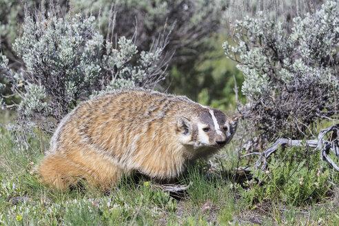 USA, Wyoming, Yellowstone Nationalpark, American badger - FOF007942