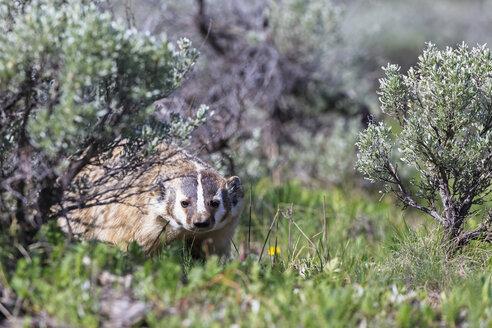 USA, Wyoming, Yellowstone Nationalpark, American badger - FOF007944