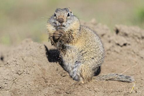 USA, Wyoming, Yellowstone Nationalpark, Uinta ground squirrel - FOF007951