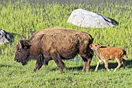 USA, Yellowstone National Park, Bison mother and calf on grassland - FOF008017