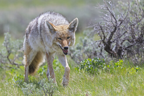 USA, Wyoming, Yellowstone Nationalpark, coyote on a meadow - FOF007955