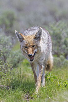 USA, Wyoming, Yellowstone Nationalpark, coyote on a meadow - FOF007956