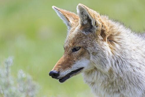 USA, Wyoming, Yellowstone Nationalpark, portrait of coyote - FOF007957