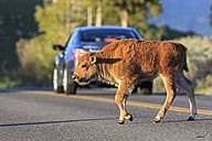 USA, Yellowstone National Park, Bison calf crossing road - FOF008022