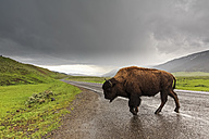 USA, Yellowstone National Park, Bison crossing road - FOF007976